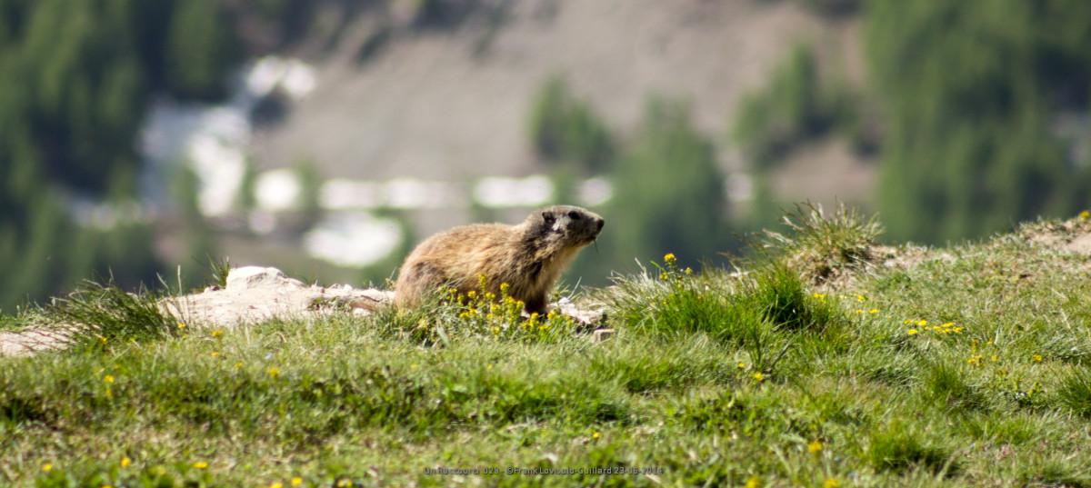 marmotte - lovisolo