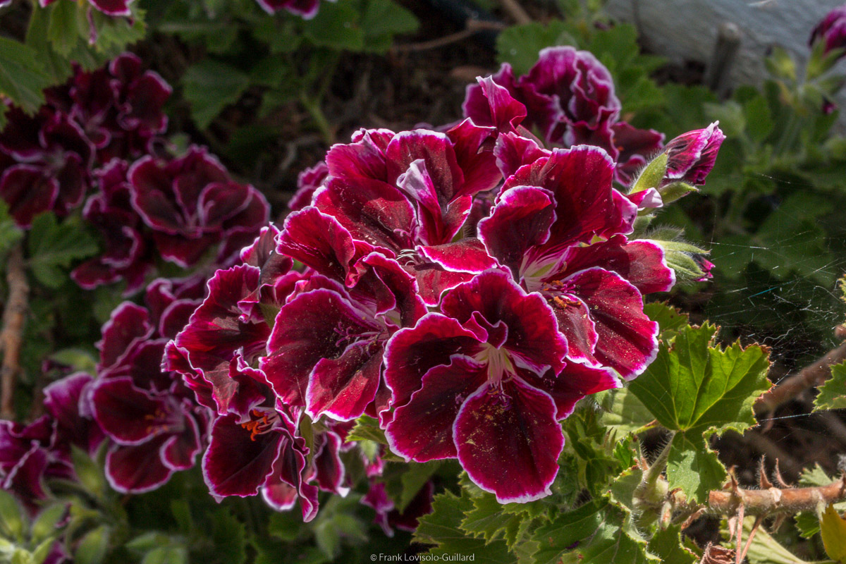 isola di vulcano fleurs 008