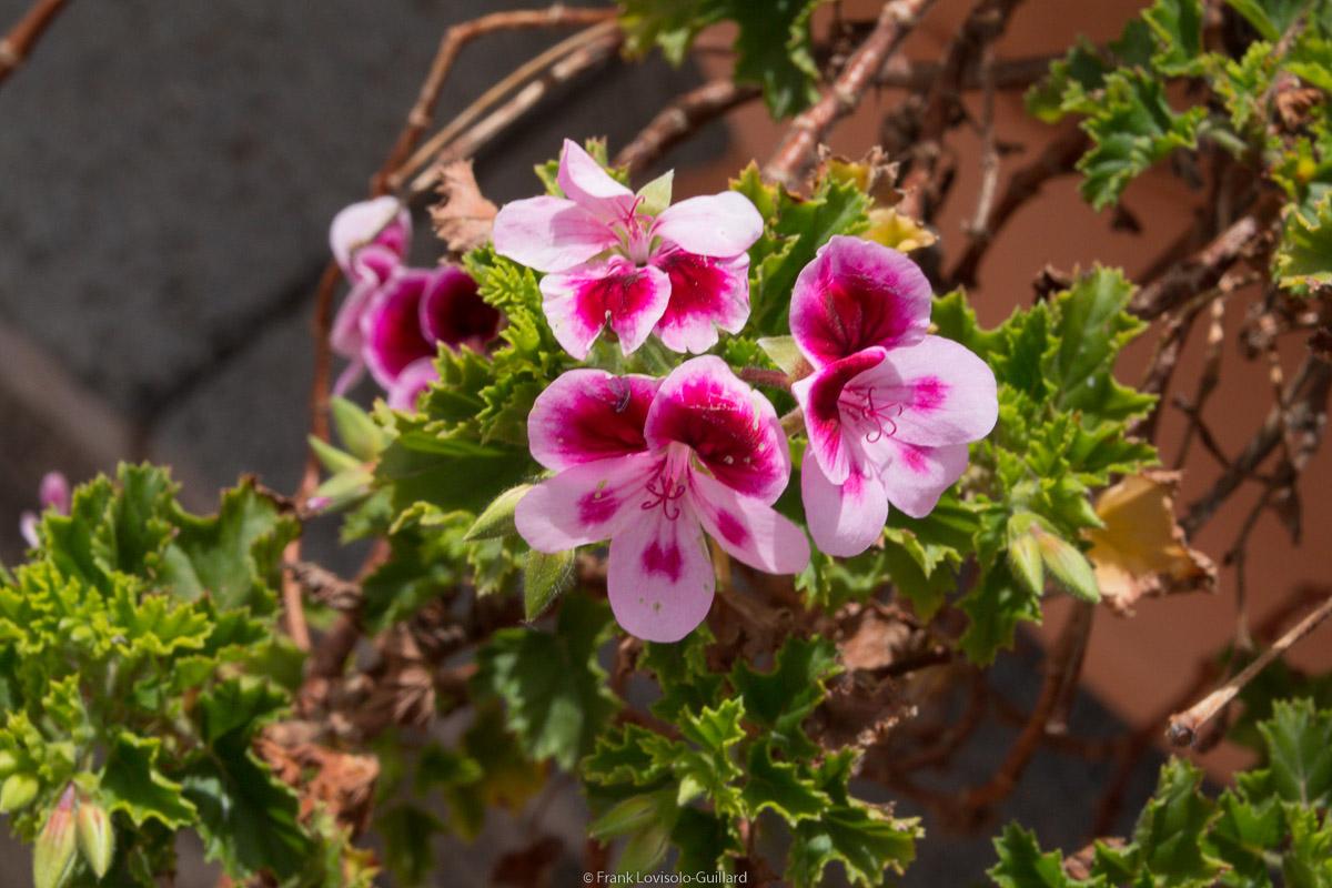 isola di vulcano fleurs 009