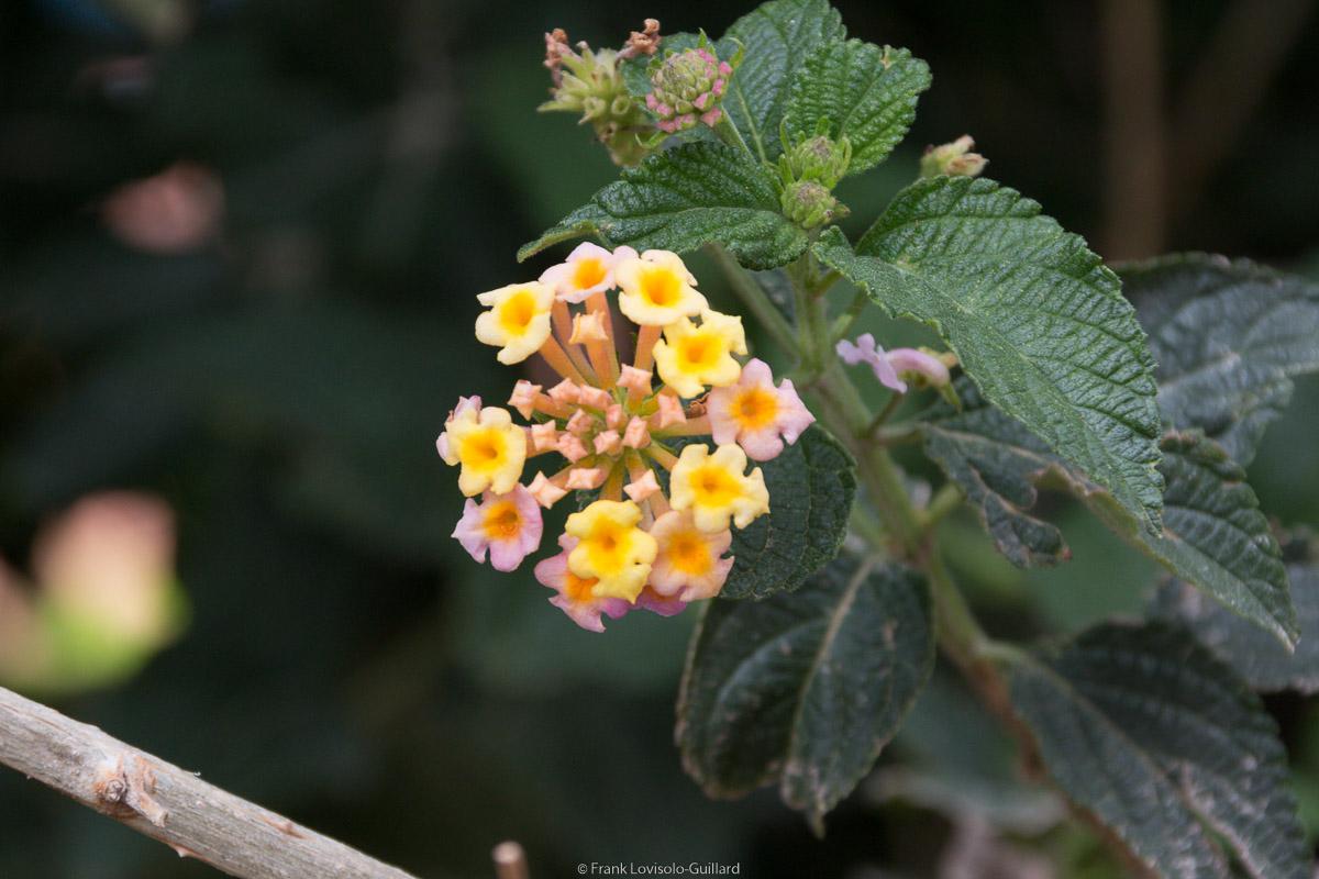 isola di vulcano fleurs 011