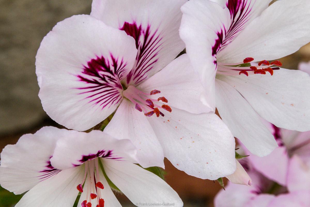 isola di vulcano fleurs 016