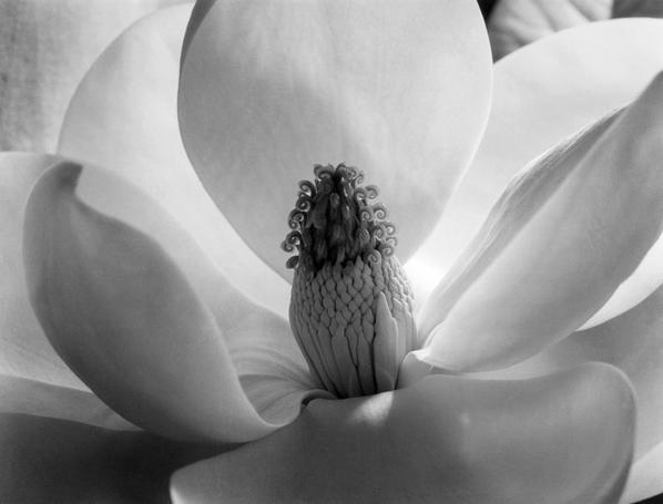 Magnolia Blossom, 1925 Gelatin silver print - Imogen Cunningham