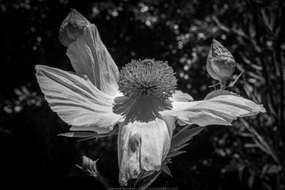 Jardin Botanique Hanbury - Romneya Coulteri - Giardini Botanici Hanbury