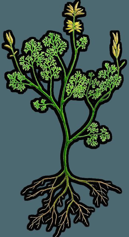 archaefructus - Une preuve d'évolution - Osmophore